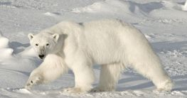 Eisbär in Kanada